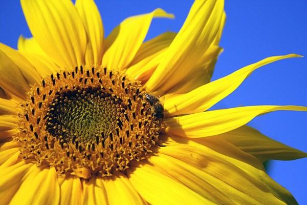 Classic Bird Sonnenblumenkerne, weiss 25kg